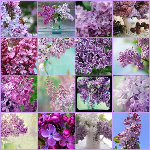 Lilacs...could there be a more perfect flower?