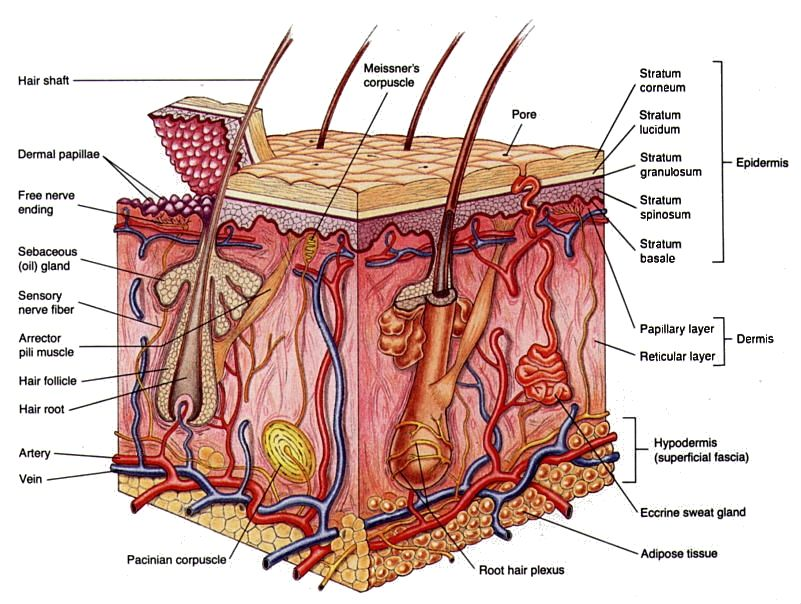 Cross section of skin | Not an MD., But I Do Play One... | Pinterest