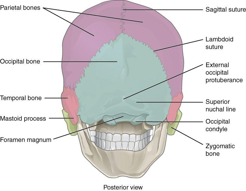 adult skull sutures posterior - Google Search | Skeletal | Pinterest ...