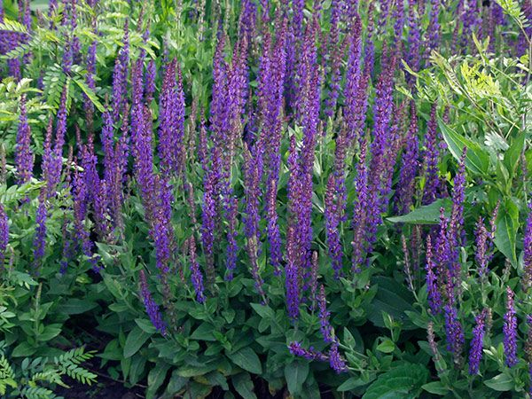 Perennial Flowers That Bloom All Summer Salvia East Friesland Is