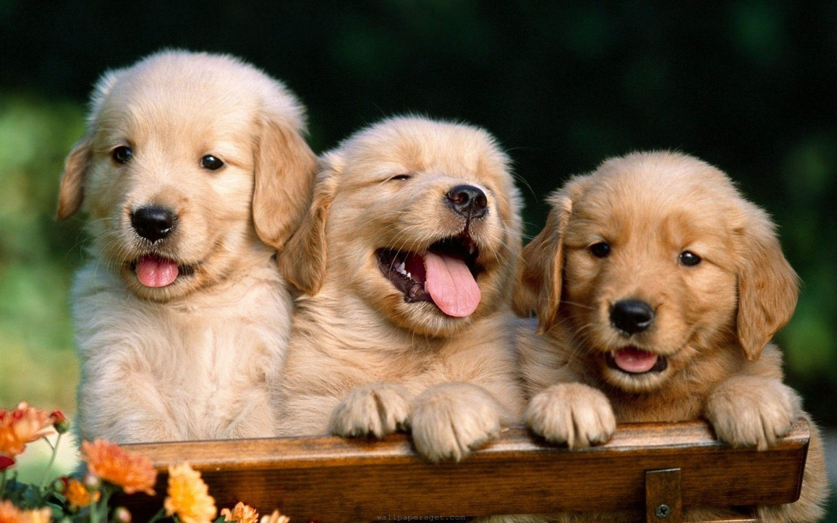 cute dog wallpapers download cute dog wallpapers for windows