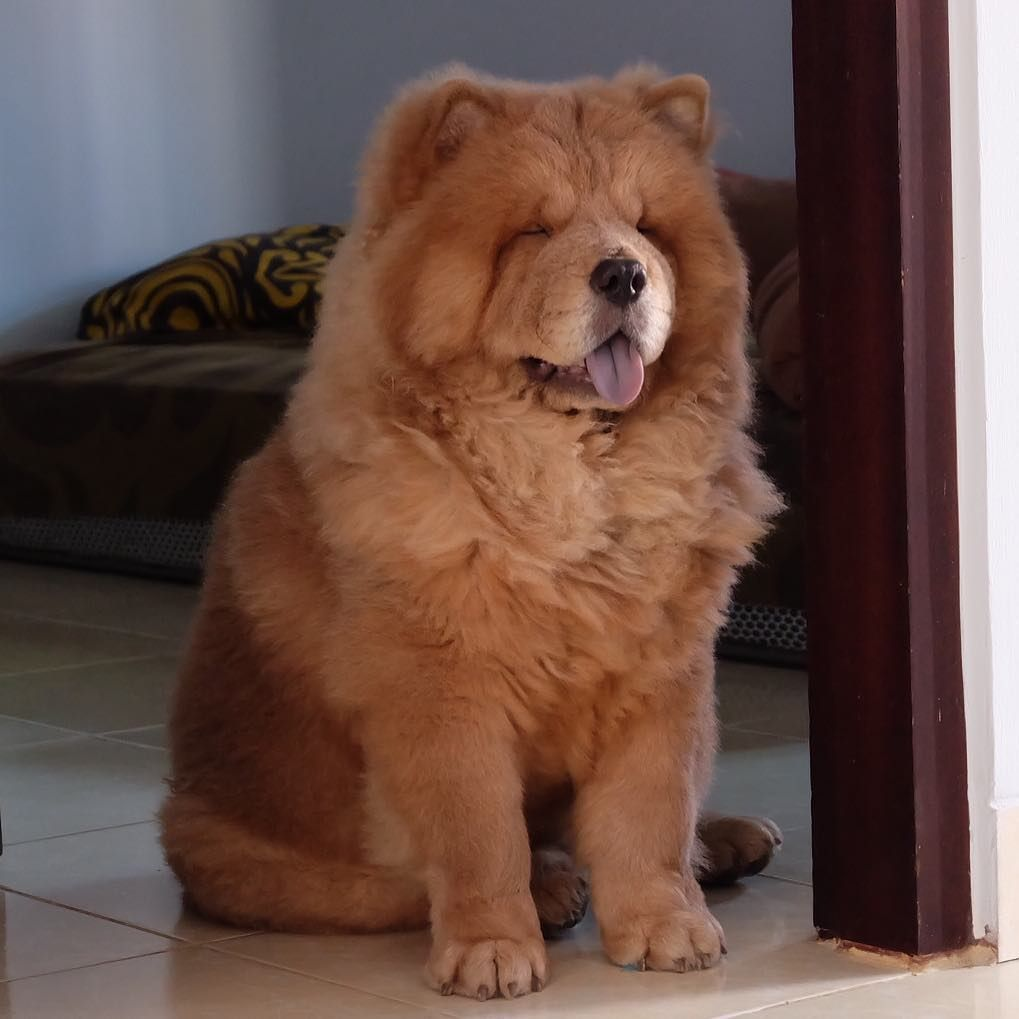 Chow Chow Recipe Chow Chow Puppy Chow Chow Dog Chow Chow