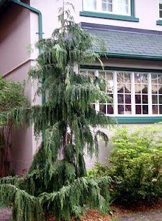 Weeping nootka cypress tree google search garden ideas for Weeping evergreen trees for small gardens