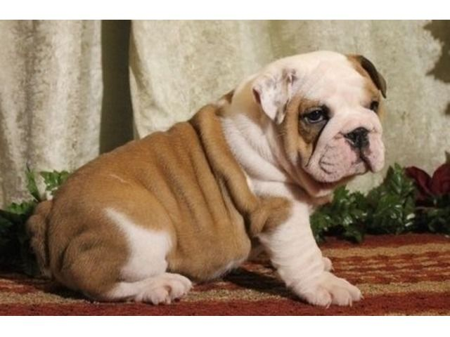 Wonderful English Bulldog Puppies For Sale English Bulldog Puppies Bulldog Puppies Bulldog Puppies For Sale
