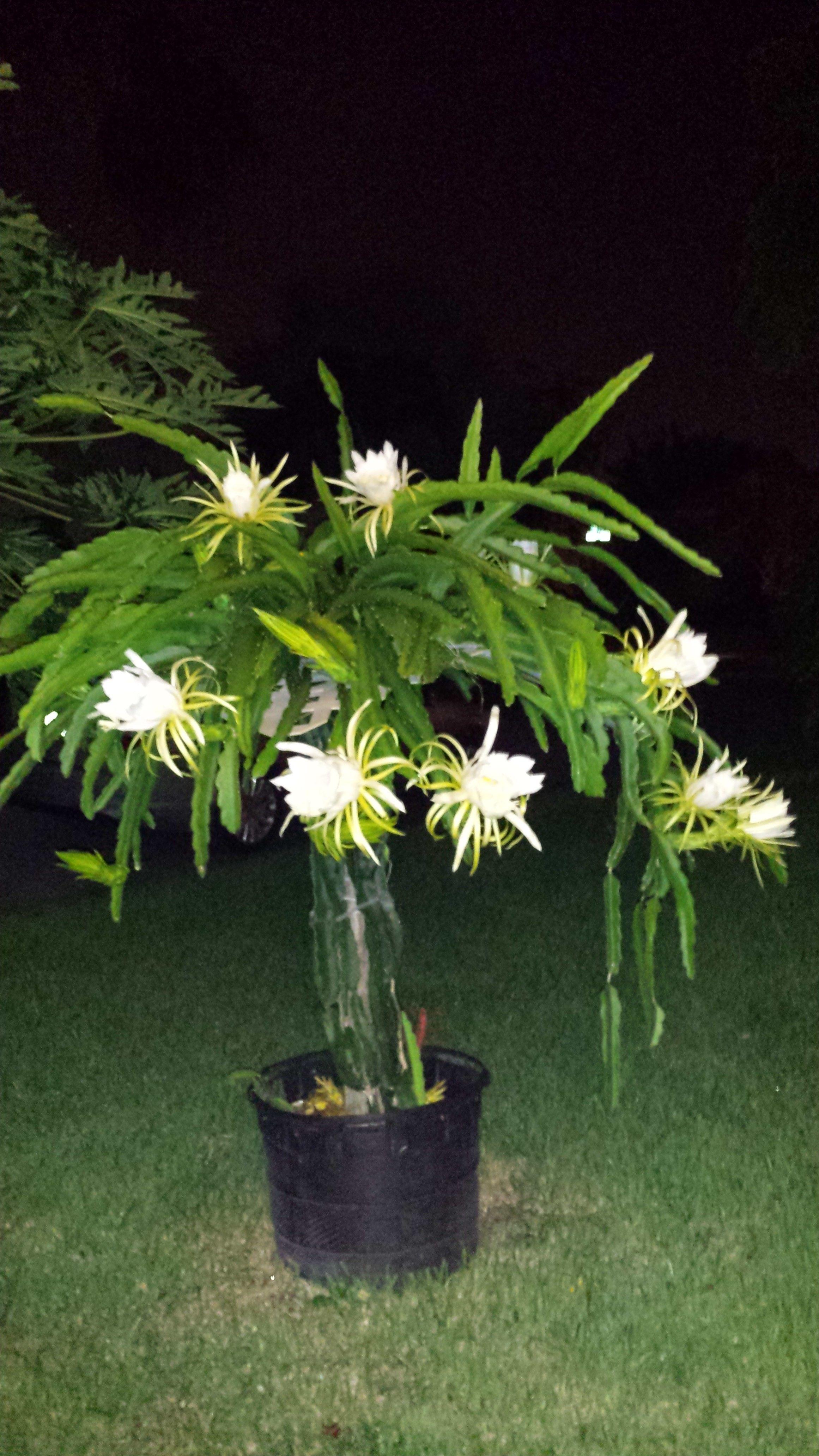 My Dragon Fruit Trellis In Bloom Taken At Night Because The