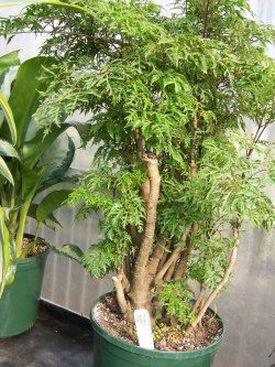 Ming Aralia Plant Has Dense Finely Cut Foliage Giving It