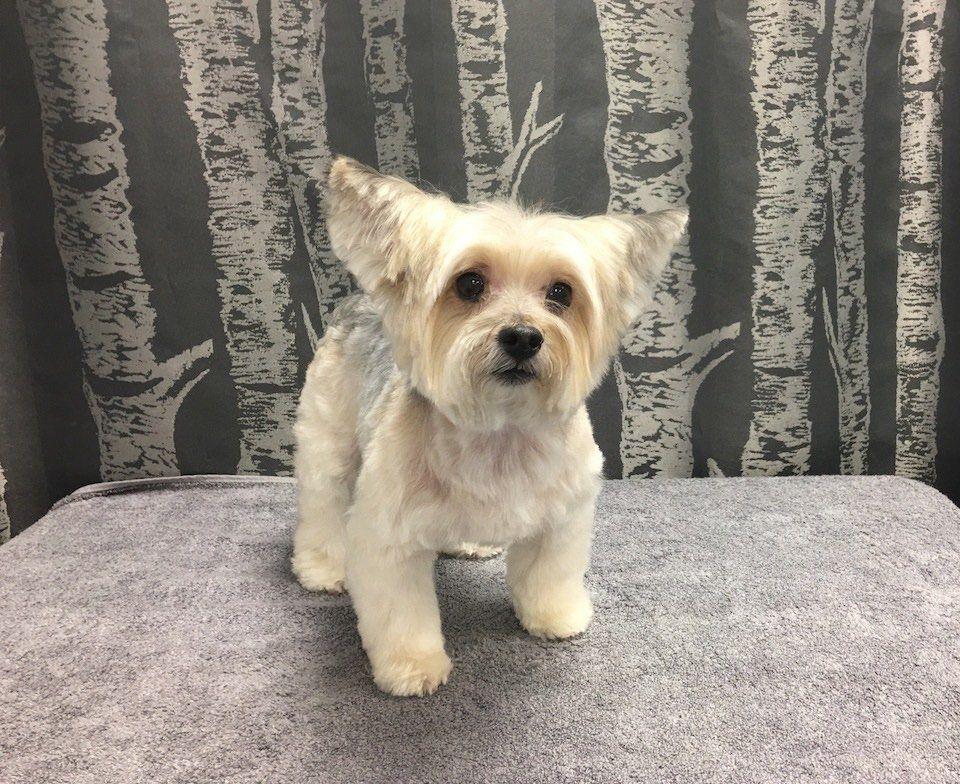 yorkie mix doggrooming doggroomer dog grooming gallery pinterest
