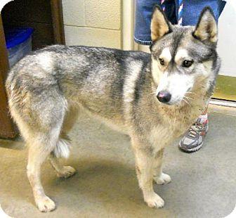 Amarillo Tx Husky Meet Athena A Dog For Adoption Http Www