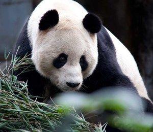 Edinburgh Zoo Panda Cam Edinburgh Zoo Panda Cam Zoo