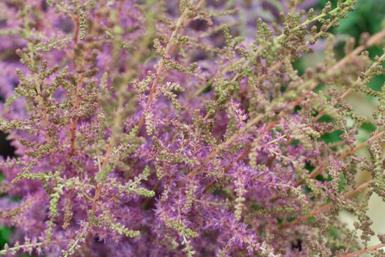 Image result for covent garden astilbe