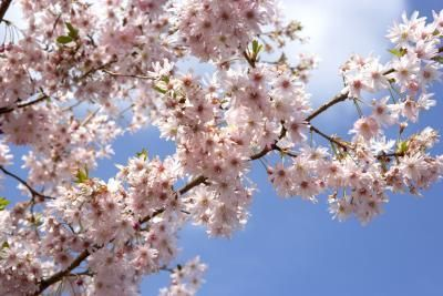 Flowering Trees That Can Be Kept Small In Pots Yoshino Cherry Tree Flowering Cherry Tree Growing Cherry Trees