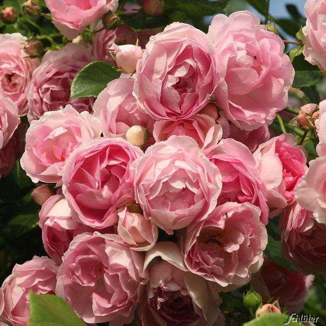 Nostalgische Kletterrose u0027Jasmina®u0027 - ADR-Rose 2 Pflanzen - rose aus stein deko