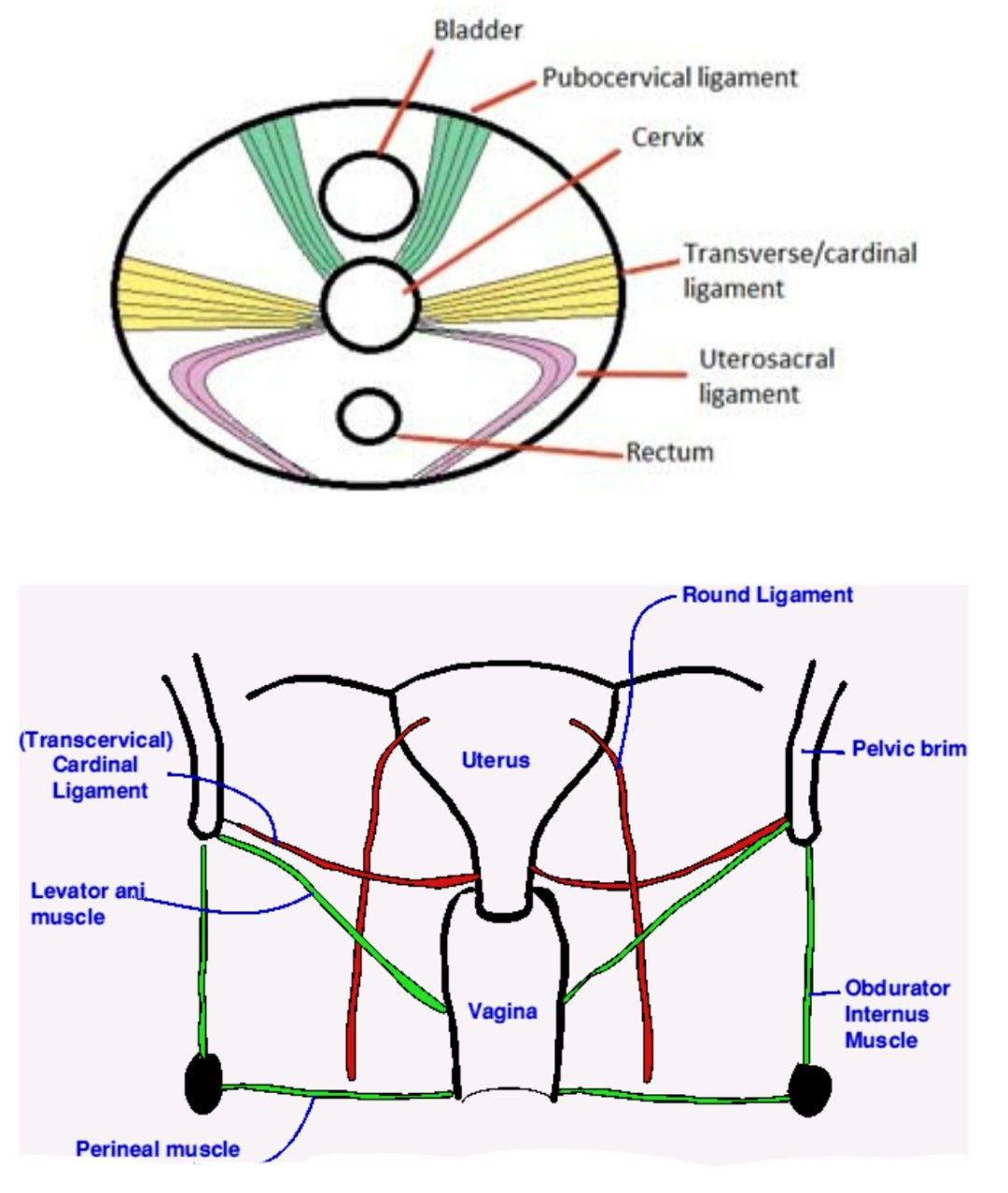 Ligaments attached to Cervix - Transcervical ligament ... | anatomy ...