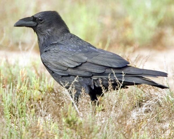 raven species | Chihuahuan Raven | National Audubon Society Birds