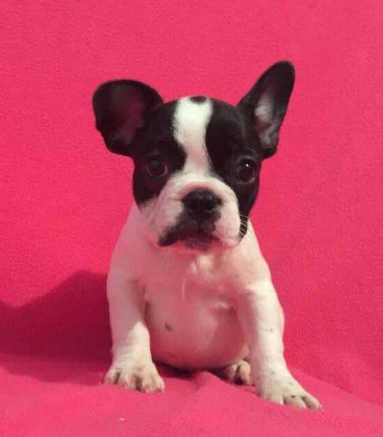 French Bulldog Puppy For Sale In Charleston Sc Adn 30641 On Puppyfinder Com Gender Fema