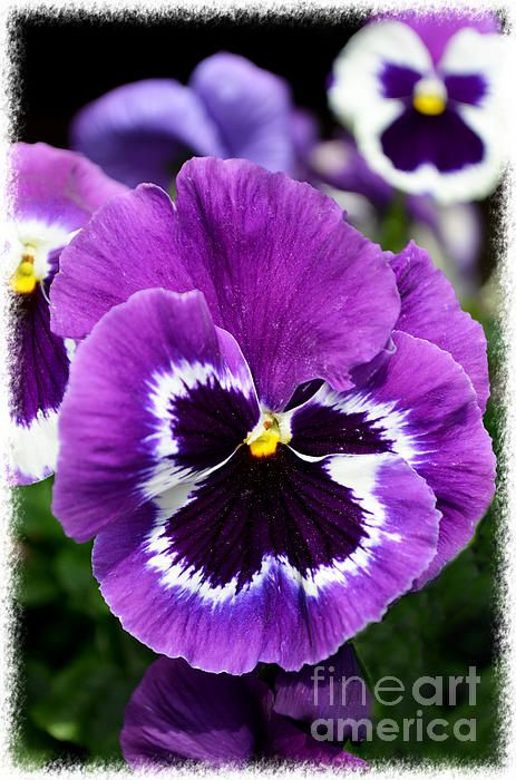 Purple Pansy Close Up By Debbie Portwood Flowers Photography Purple Pansy Pansies Flowers