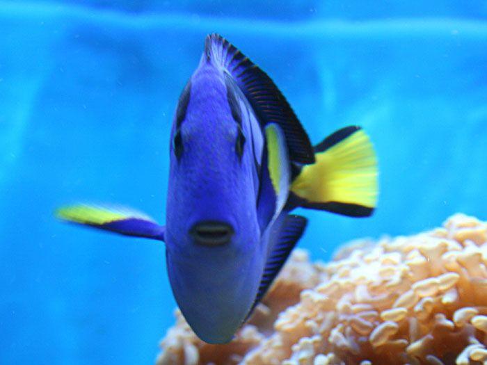 Blue Tangs Always Make You Smile Blue Tang Blue Tang Fish World Wild Life