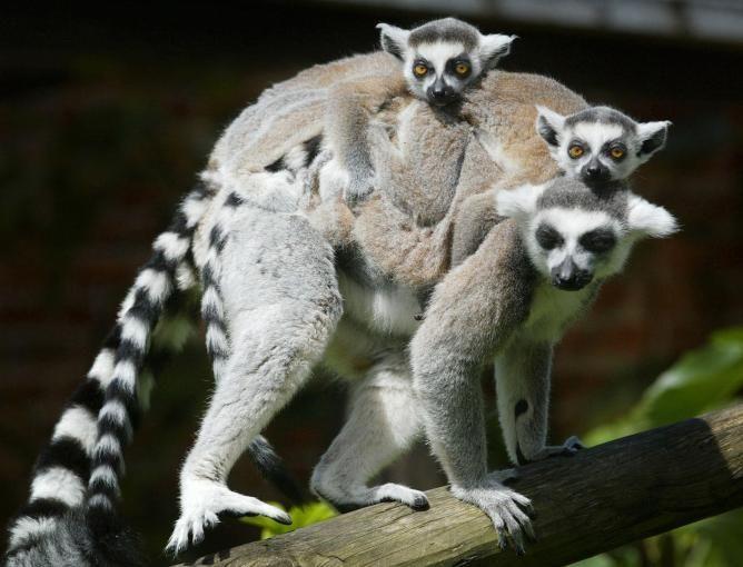 madagascar african monkey | La fauna de Madagascar llegó a la isla desde África en troncos o ...