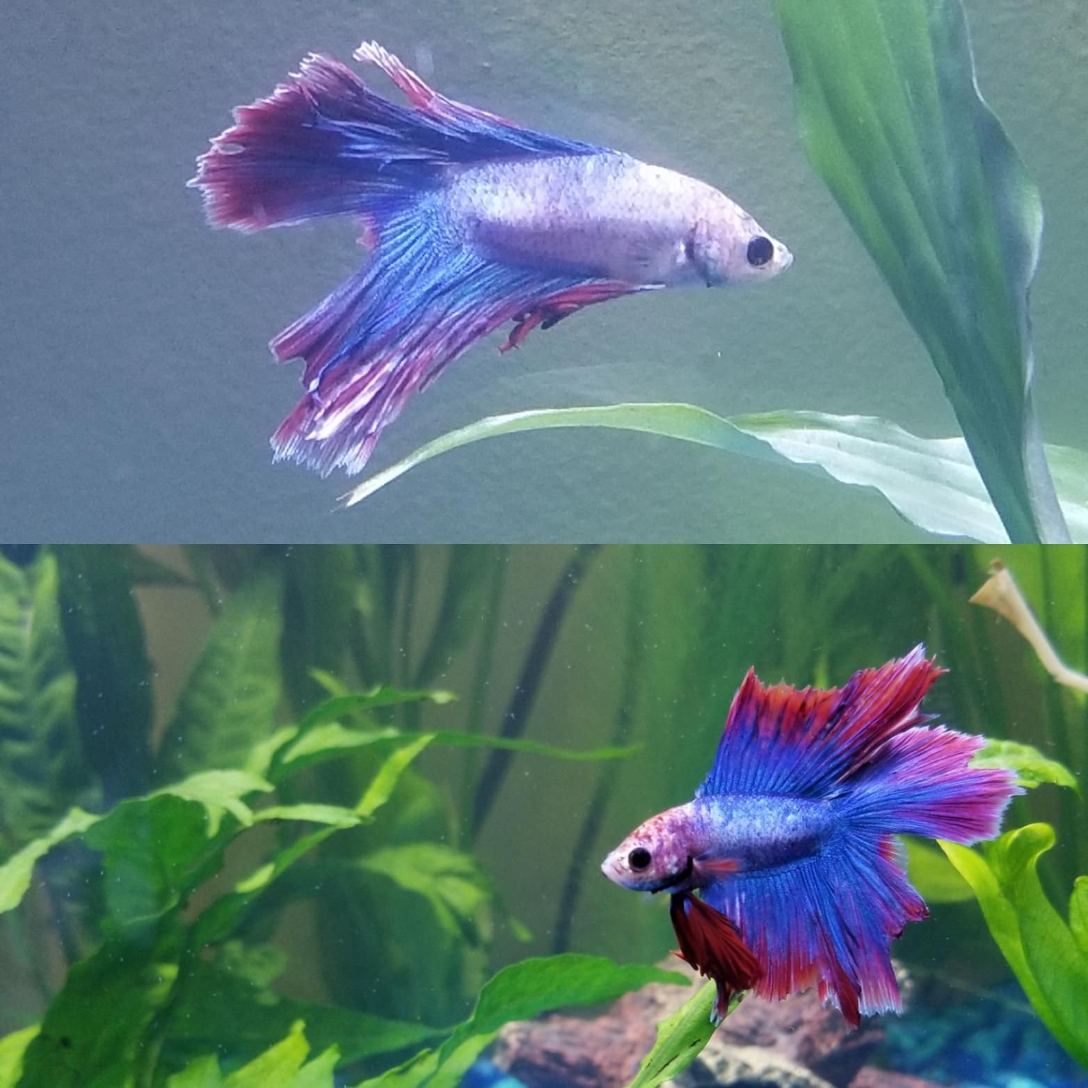 Betta Fish Francis Is Looking So Much Better Than A Few Weeks Ago I Still Feel Like He May Be Nipping Does Anyone Have Any Advice On L Betta Fish Betta