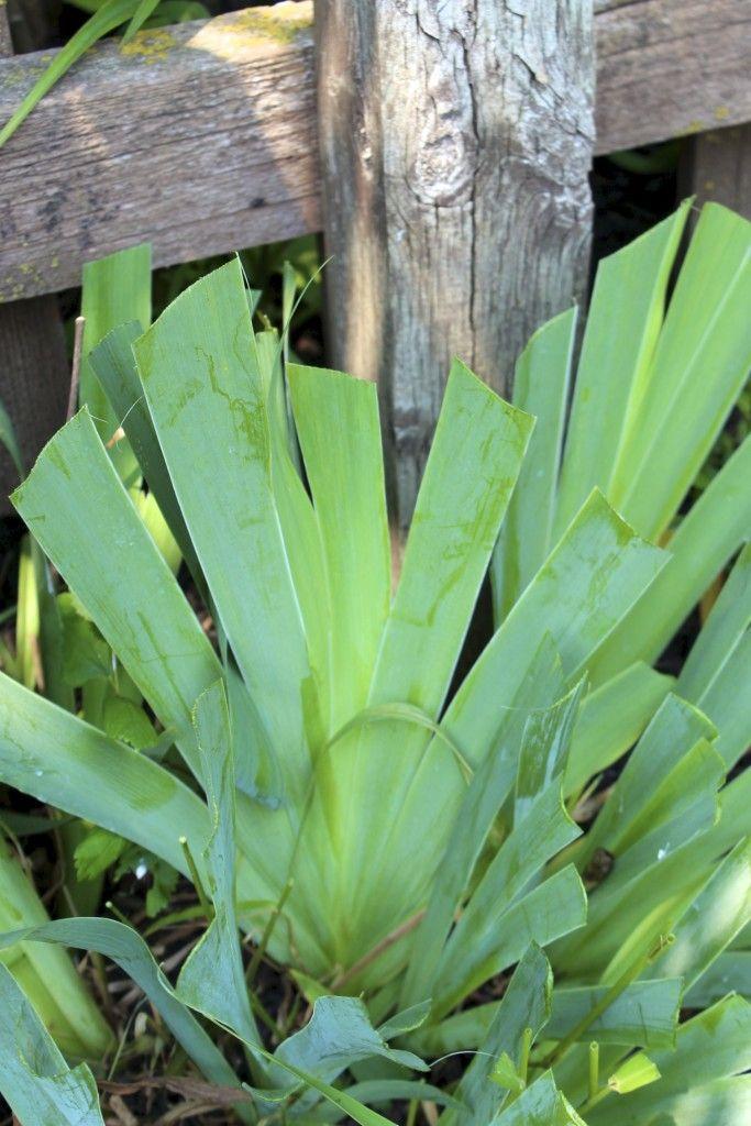 Five Gardening Tips For July Gardening Tips Iris Flowers Garden