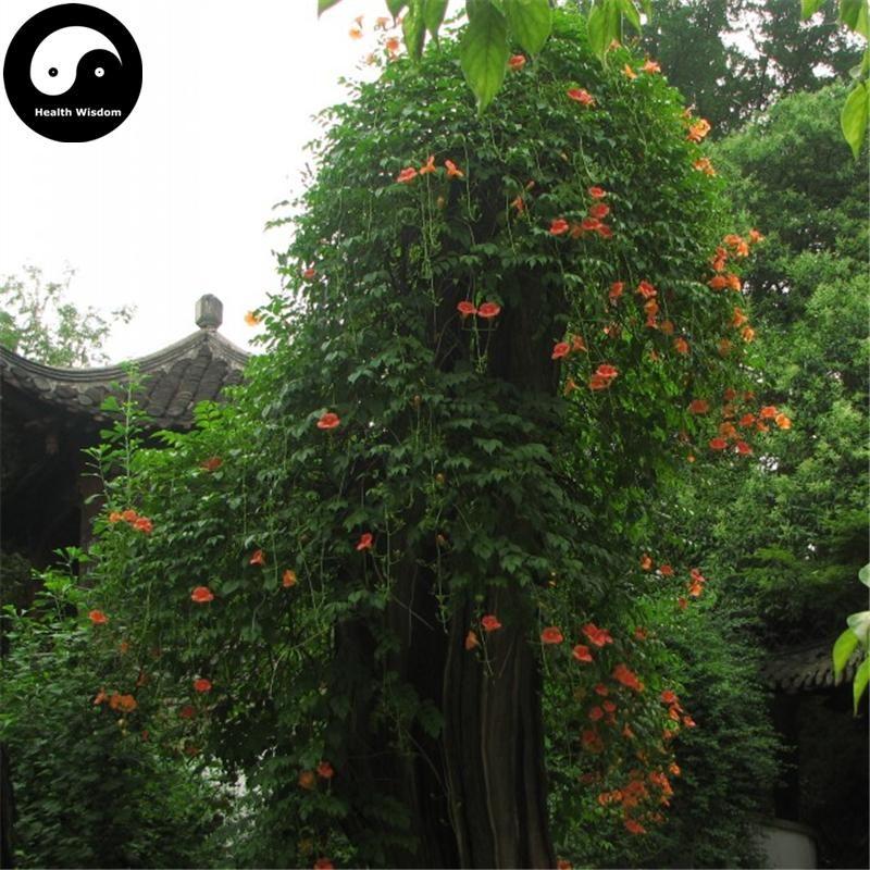 Buy trumpet creeper tree seeds 240pcs plant campsis