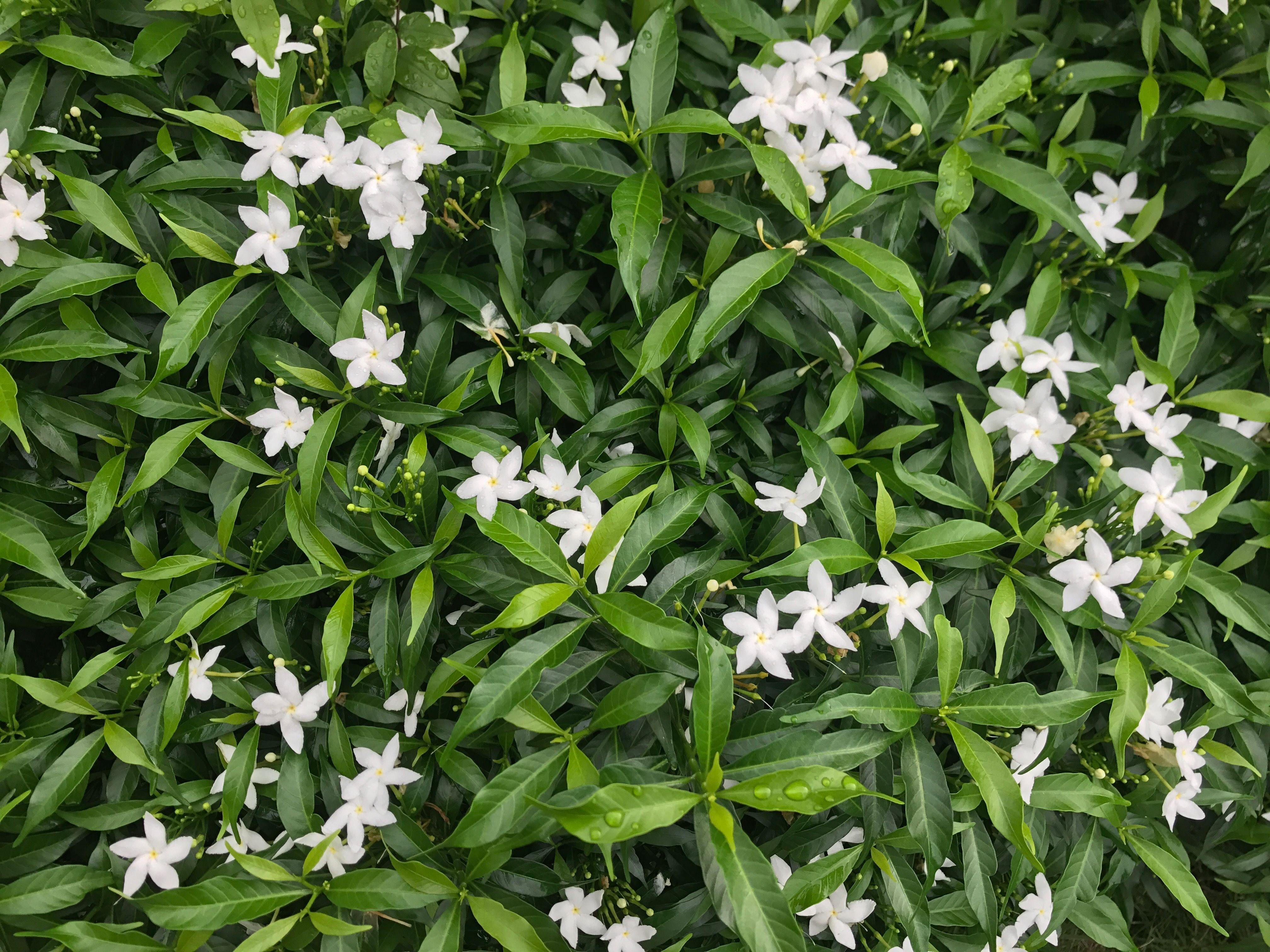 Thai Flowers Name Is Phutpitchaya White Flower Garden Green