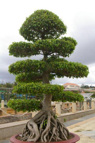 Flower garden crazy mini bonsai type trees gardening for Cool bonsai tree
