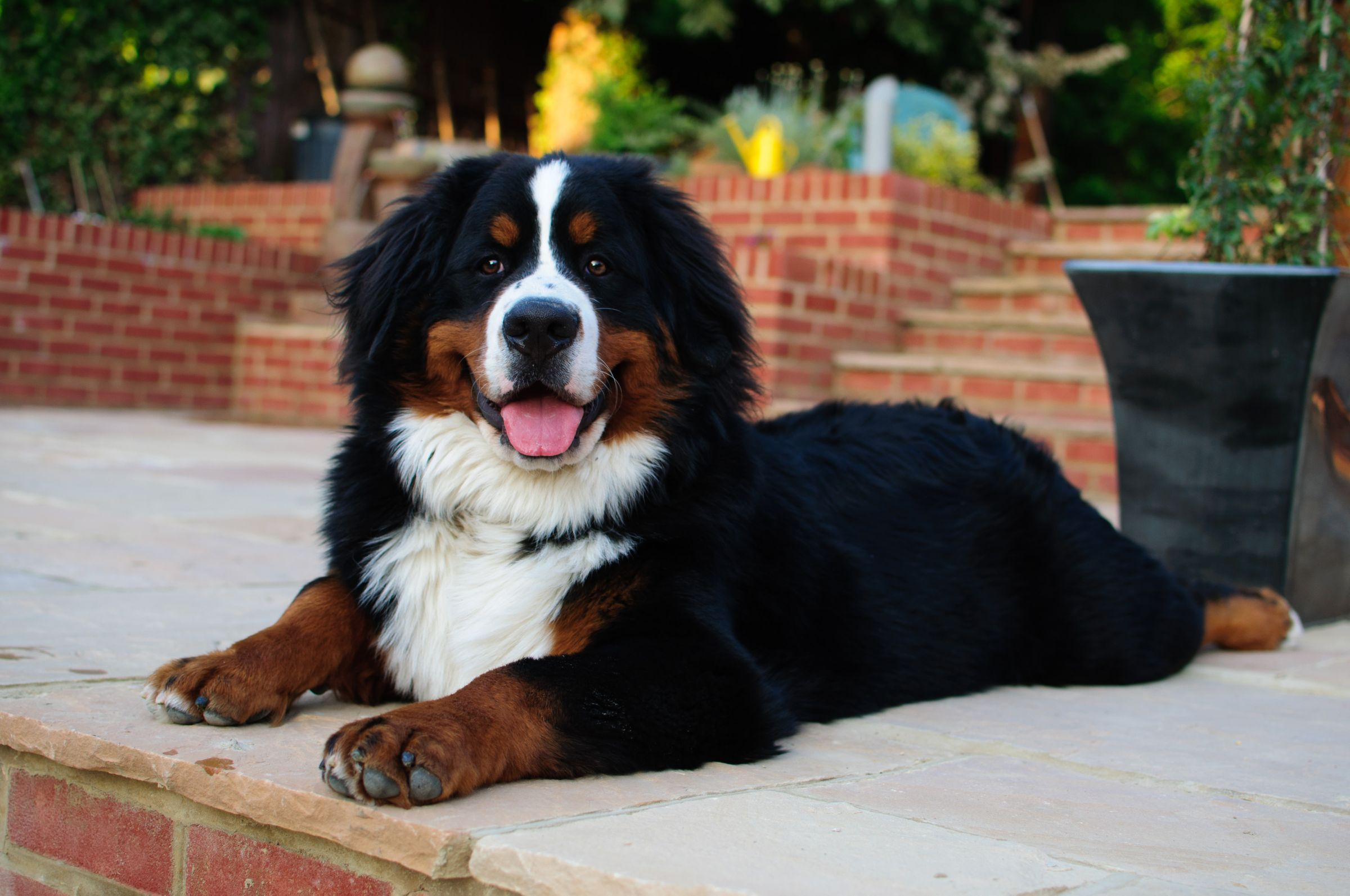 Best Bernese Mountain Dog Chubby Adorable Dog - fa6a3e4bc65eb61ab46b7df01d0d6a41  Pic_479112  .jpg