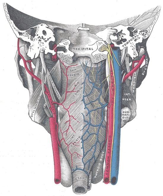 Gray1031 Arteria Cartida Externa Wikipedia La Enciclopedia