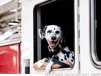 Fire House Dog Ready For Action Shared By Lion Dalmatians