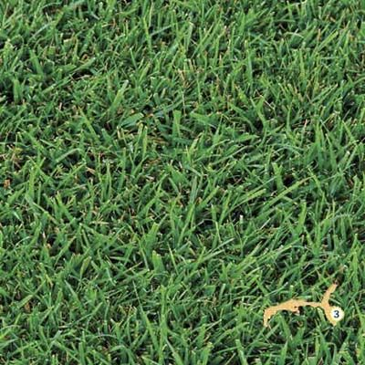 Which Grass Is Best For Your Area Bermuda Sod Bermuda Grass Grass Plugs