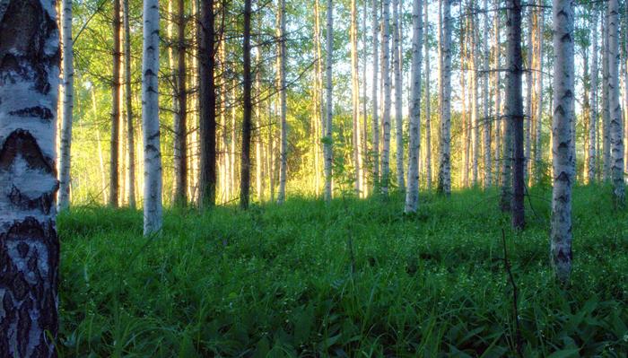 Beautiful birches and magical Midsummer sun. Kaunis koivikko ja auringonsäteet Juhannusyönä.