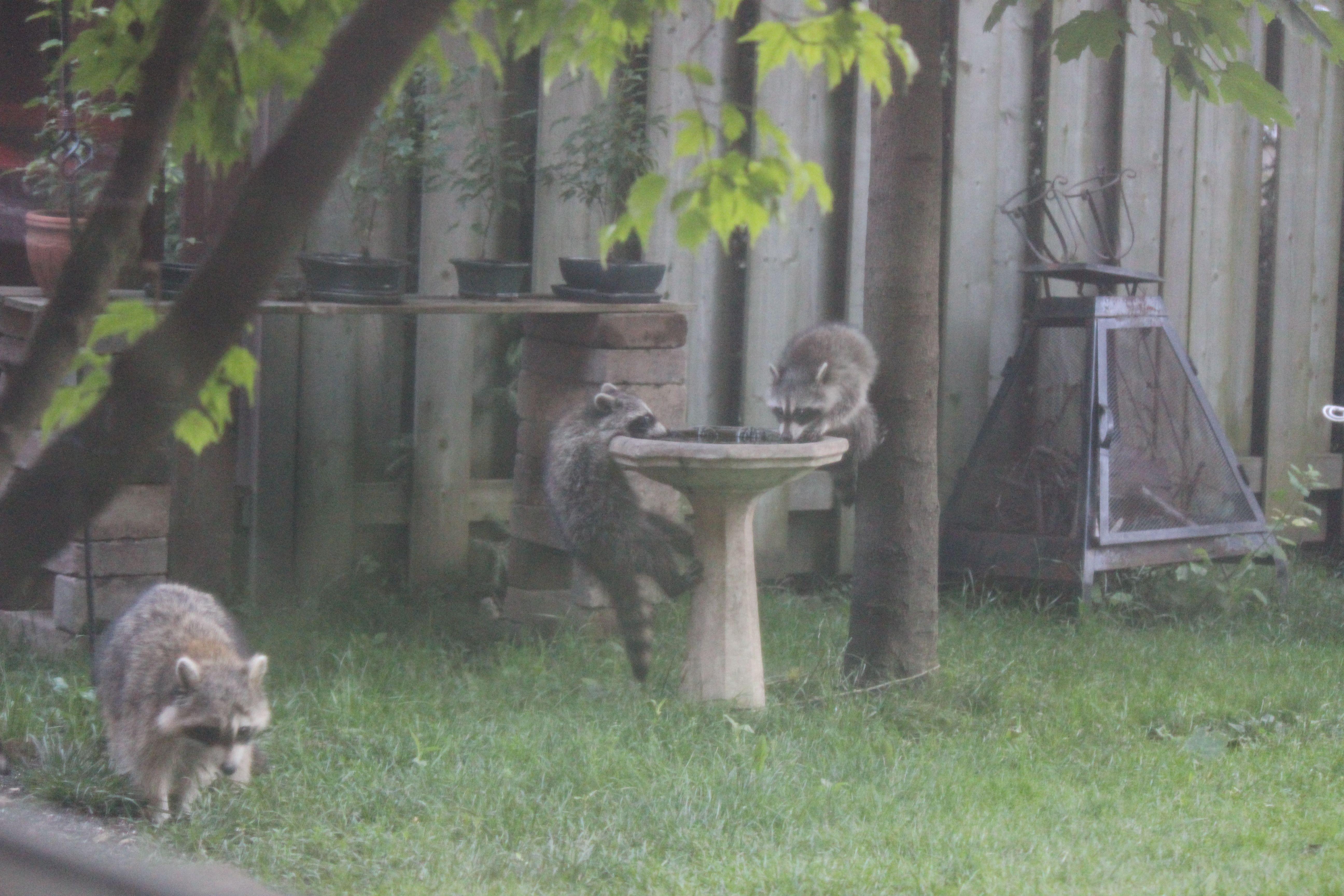3 baby raccoons my backyard pinterest baby raccoon and raccoons