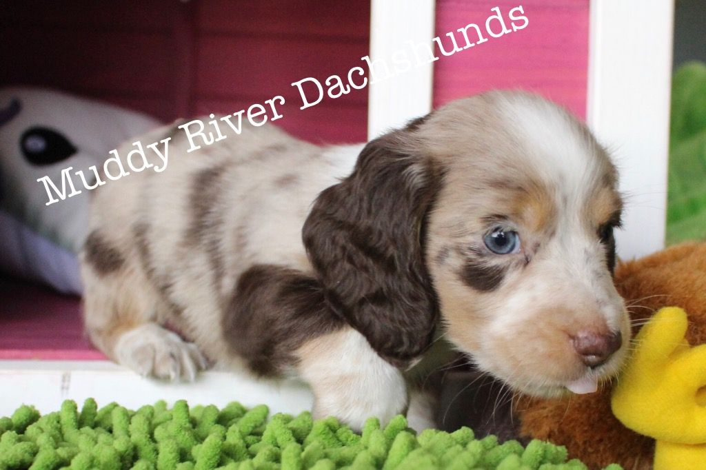 Chocolate And Tan Dapple Longhair Dachshund At Muddy River Dachshunds Dachshund Puppy Miniature Dachshund Puppies For Sale Dachshund Puppy