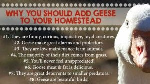 Why You Should Add Geese To Your Homestead   The Homestead Survival - Homesteading