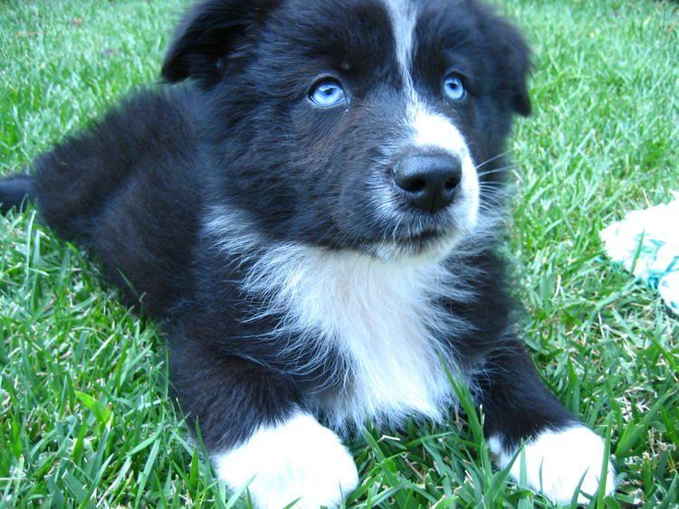 Fancy Australian Shepherd Puppy Australian Shepherd Puppy