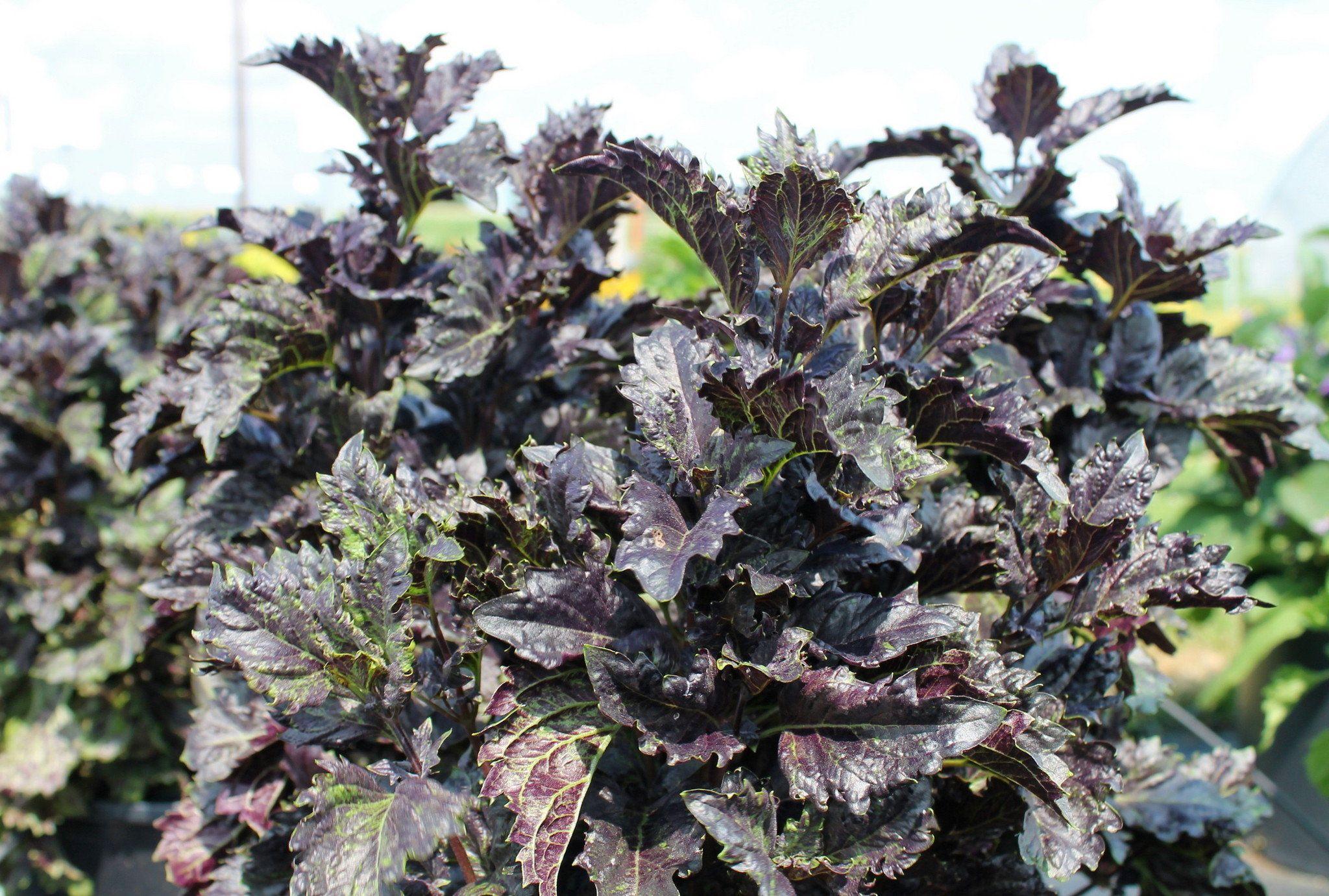 Best new edible plants of 2015 weigel edible