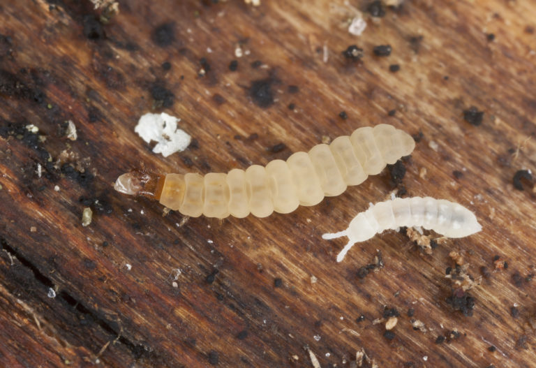 What Are The Little White Bugs In My Worm Compost Worm Composting Compost Compost Barrel