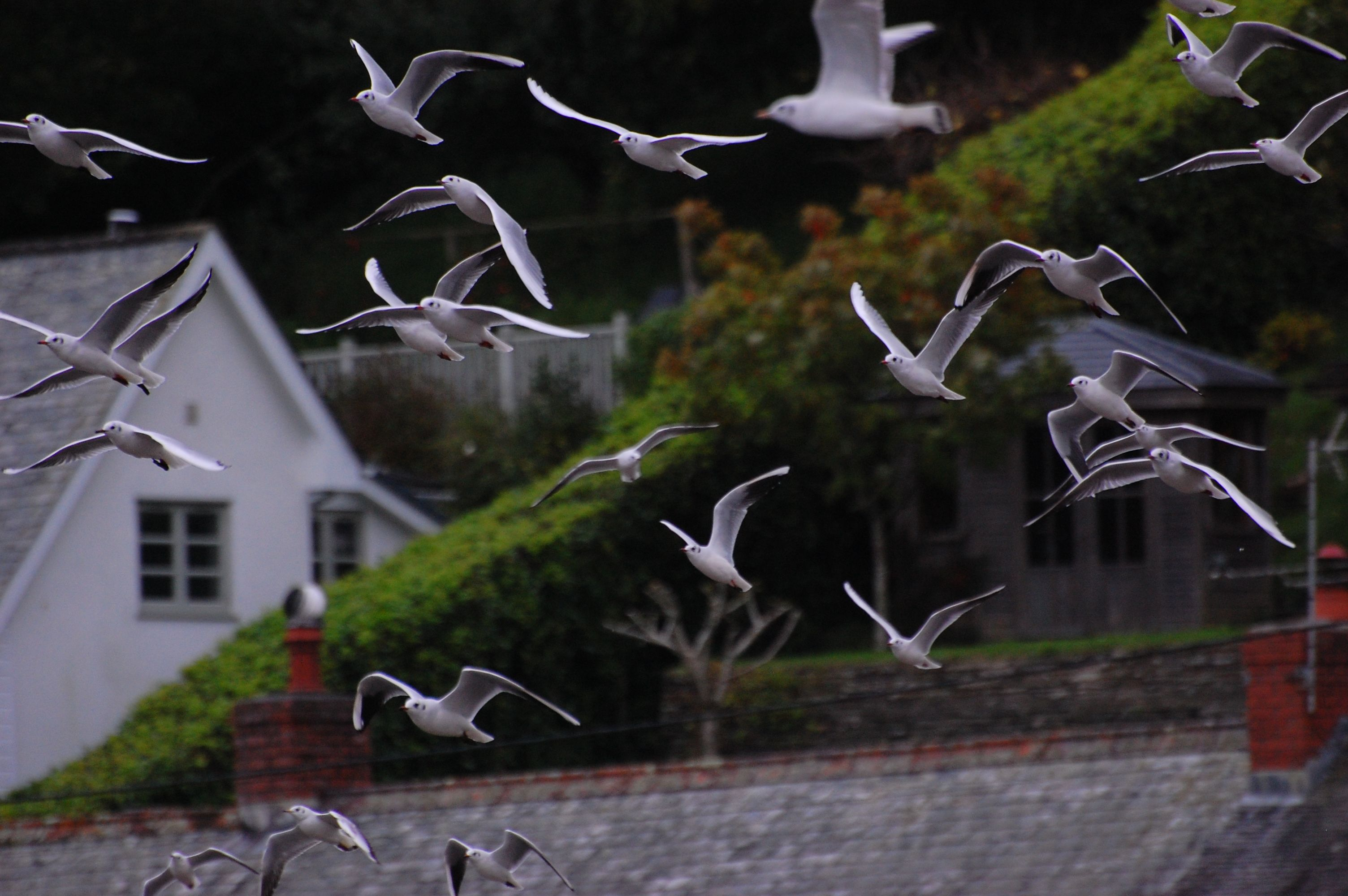 Black headed gulls in flight, Lerryn