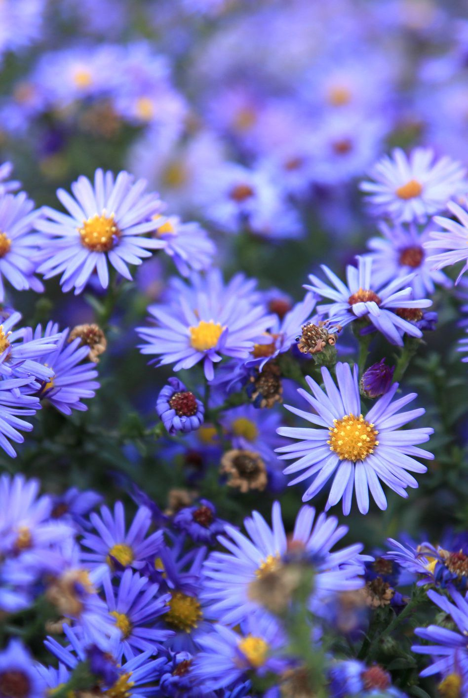 The Only Flowers You Need For A Standout Fall Garden Aster Flower Autumn Garden Fall Flowers Garden