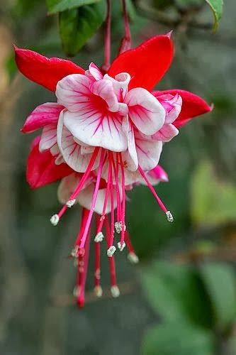 Beautiful Fuschia -- anyone happen to know what variety this is?