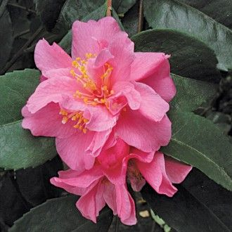 Camellia Fragrant Pink Camellia Lutchuensis Hybrid Camellia Plant Small Pink Flowers Fragrant Plant
