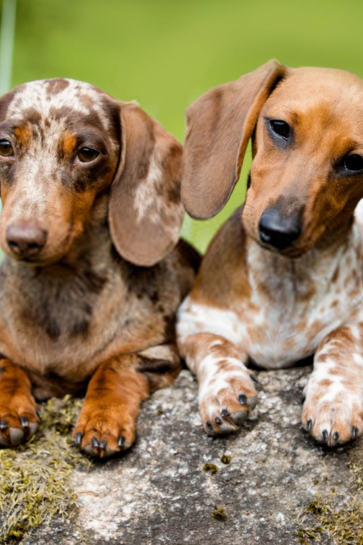 Cute Dachshunds Dachshund Photography In 2020 Dachshund Dog Dapple Dachshund Miniature Dachshund Puppies