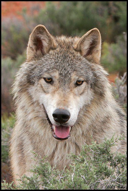 Gray Wolf PageŦ~༺ɀ༻~Π