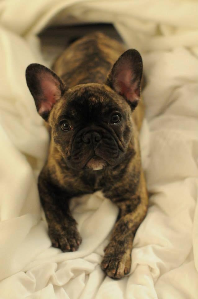 Pin By Jasmine Smith On Merle Frenchie French Bulldog Puppies Cute French Bulldog Brindle French Bulldog