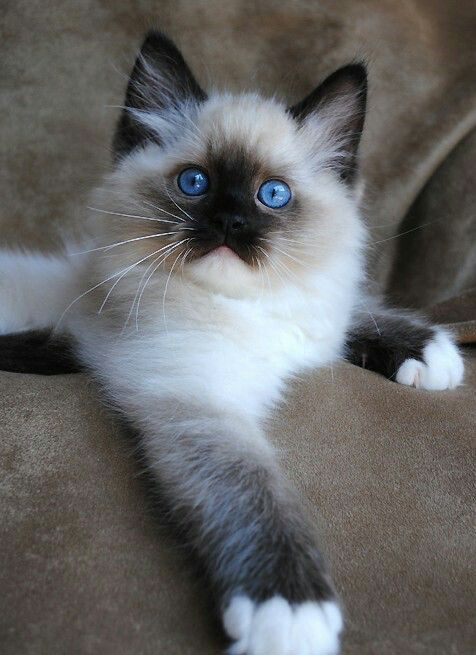 ️ ️ ️ Best cat breeds, Ragdoll cat breeders, Beautiful cats