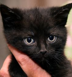Adopt Kitten On Petfinder Cats Kitten Short Hair Cats