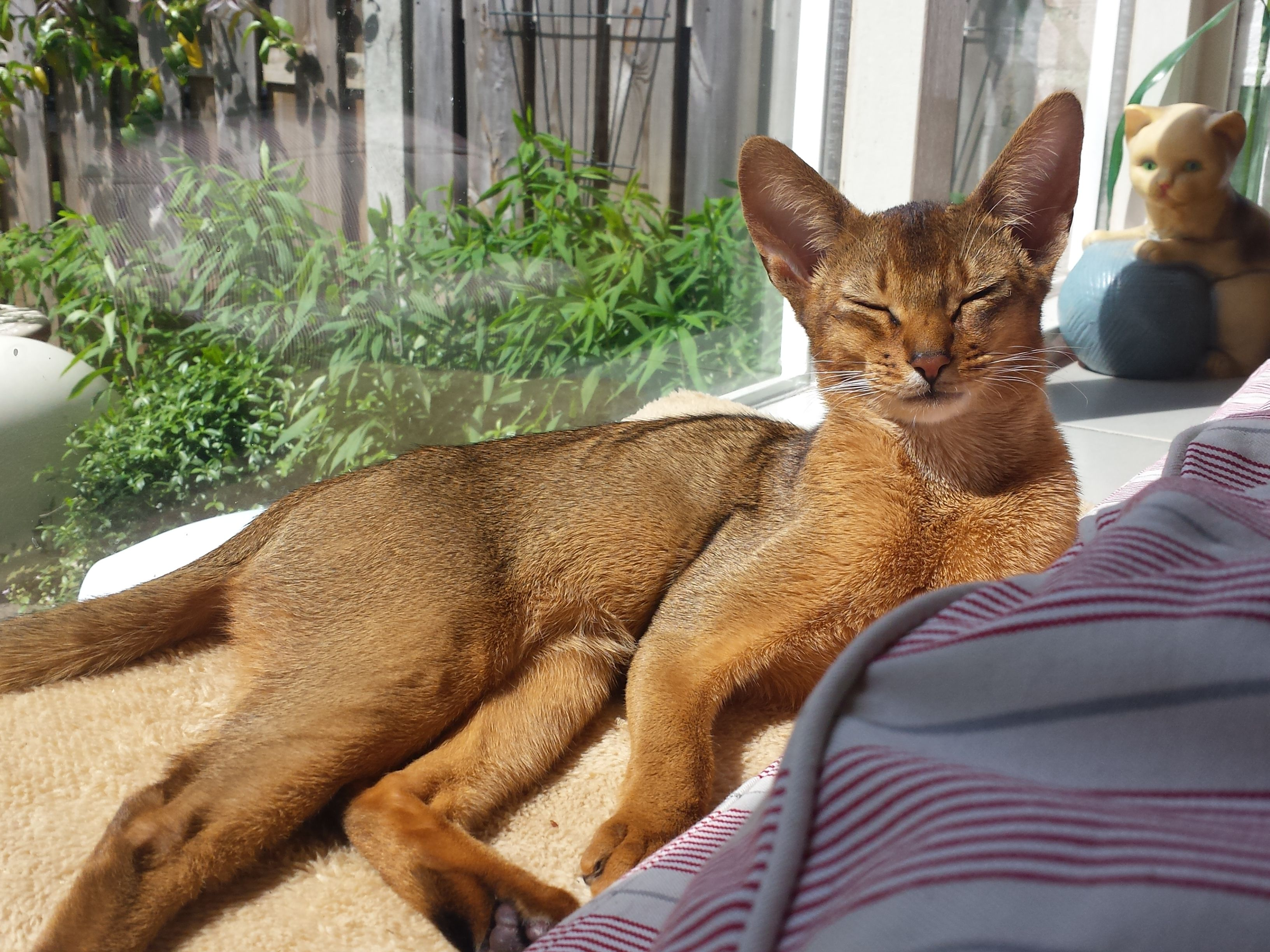Abessijn / Abyssinian cat | I love abbys | Pinterest | Abyssinian ...