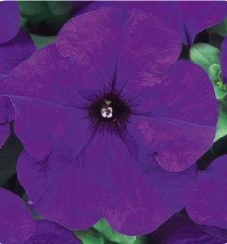 1,000 Seeds Pelleted Dreams Midnight Petunia Seeds BULK SEEDS #PetuniaSeeds