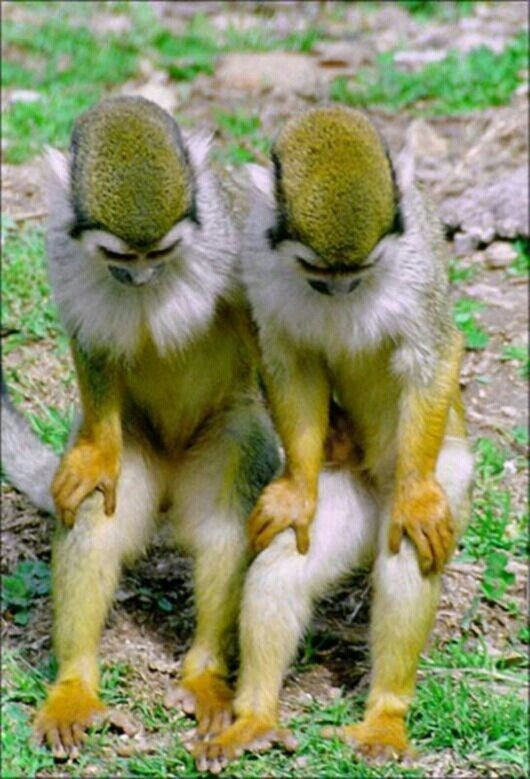 You Know What Let S Start The Day Off Right Bow Your Head And Let S Pray Identical Twin Monkeys Cute Animals Animals Beautiful Animals Wild